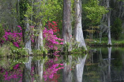 Live-Oaks-and-colorful-azaleas-South Carolina-state-Parks