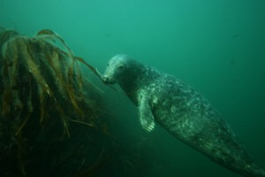 channel-islands-sea-lion-and-kelp