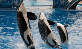 orlando-sea-world-killer-whales