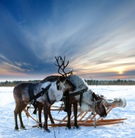white-christmas-reindeer