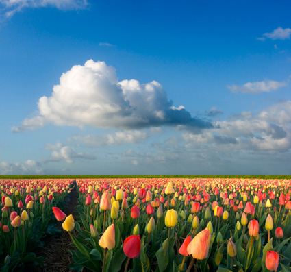 skagit-valley-tulips